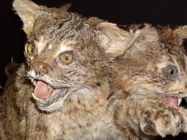 2 headed cat (marlow harris/flickr)